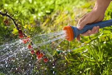 hand watering gooseberry bush, closeup