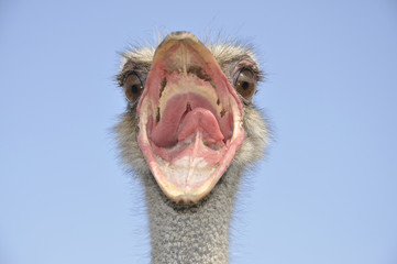 Angry bird - ostrich