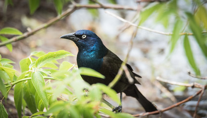 Striking shimmer, young Brewer's Black bird (euphagus cyanocephalus).
