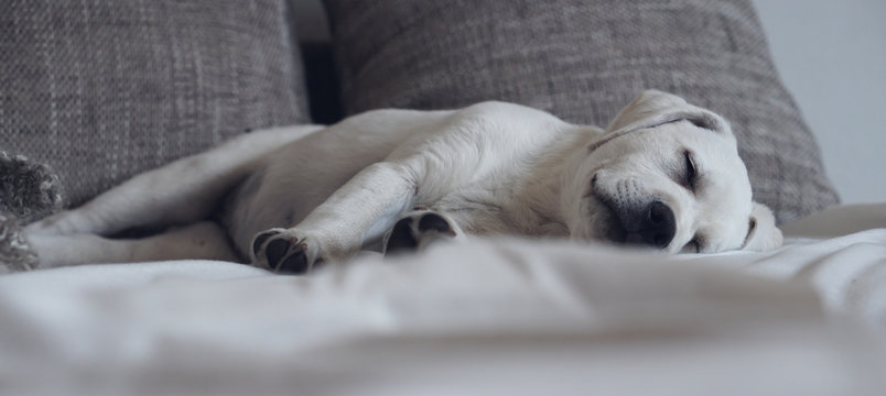 Süßer niedlicher Labrador retriever Hund Welpe liegt auf dem Sofa und schläft friedlich während er vom Spaziergang träumt