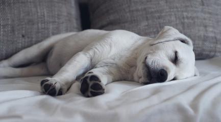 Süßer niedlicher Labrador retriever Hund Welpe liegt auf dem Sofa und schläft friedlich