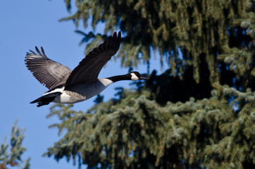 Canada Goose Flying Past an Evergreen Tree