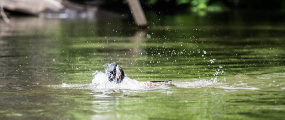 Canada goose loves splashing, thrashing, bathing and frolicking with enthusiasm in the waters of the Ottawa River.