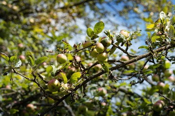 Organic apples hanging on a tree branch