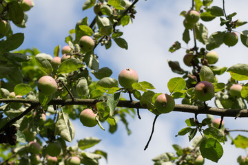 Many organic apples hanging on a tree branch