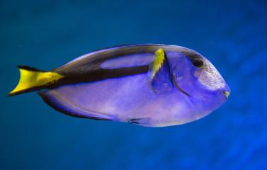 Pacific Blue Tang Fish