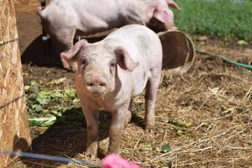Breeding pig on a small farm