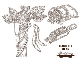 Hand drawn haricot bean collection. Vector illustration in sketcch