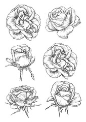 Blooming rose flowers and buds sketches