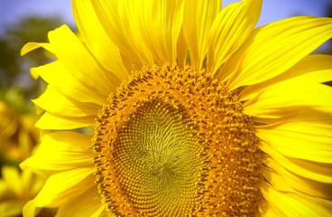 big close up yellow sunflower