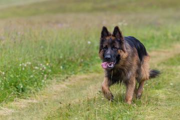 Cane pastore tedesco che cammina libero su un sentiero erboso  di montagna