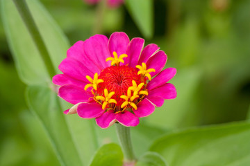 Beautiful bloom zinnia