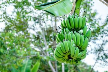 Unripe bananas in the jungle, soft focus.