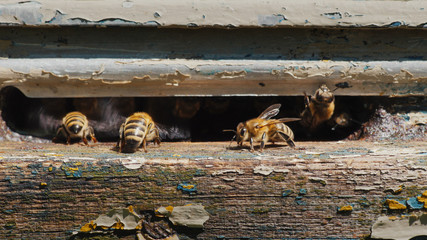 A lot of bees at the entrance to the hive