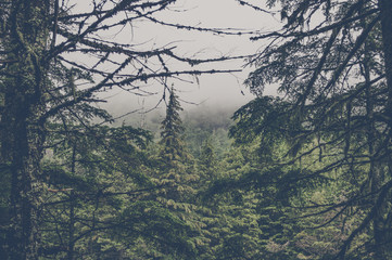 Spooky forest with pine trees