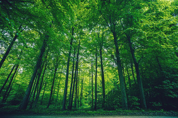 Tall green trees in a forest