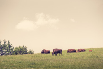 Buffalo herd on a green meadow