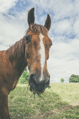 Horse with grass in the mouth