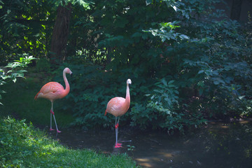Flamingos standing in a river