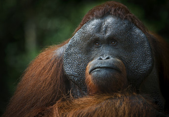 Portrait of a male orangutan. Indonesia. The island of Kalimantan (Borneo)