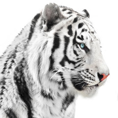 Wall Mural - White tiger portrait