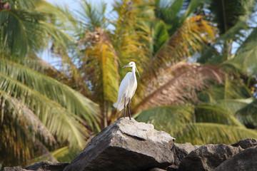 Little Egret white. South India