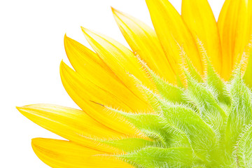 close-up detail of a petal from beautiful sunflower (Helianthus) selective focus isolate on white background with clipping path