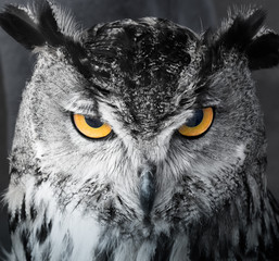 Fotobehang Uil Black and white image of angry and focused owl with bright yellow eyes staring at its prey.