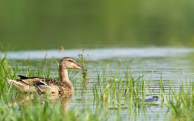 Duck Swimming in The Lake Near The Reed