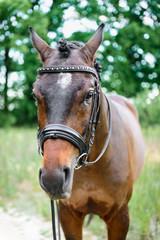 portrait horse close up