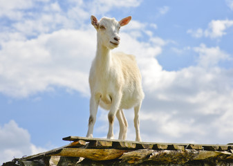 Funny goat standing on barn roof on country