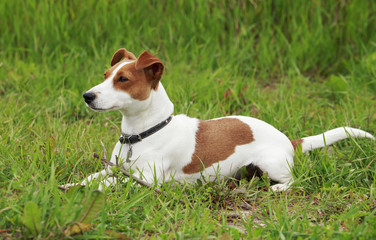 the Jack Russell Terrier dog