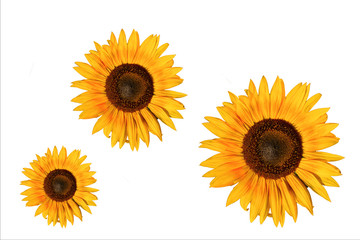 Sunflowers pattern isolated over white background.