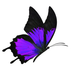 black and purple butterfy