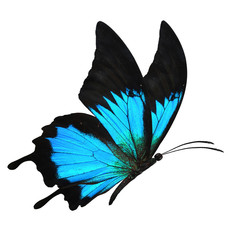 black and blue butterfy