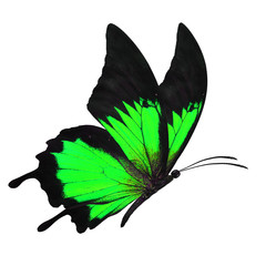 black and green butterfy