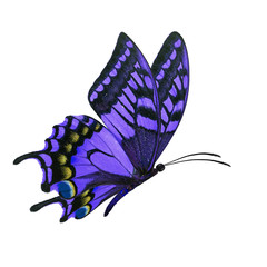 purple butterfy flying