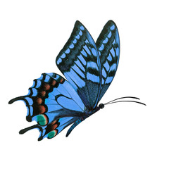 blue butterfy flying