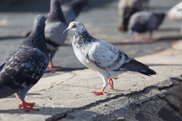 Pigeon walking at the park