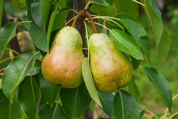 Shiny delicious pears hanging from a tree branch in the orchard.