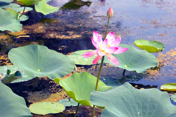 beautiful water lily on the water surface