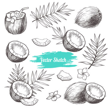 Vector coconut hand drawn sketch with palm leaf.  Sketch vector tropical food illustration. Vintage style