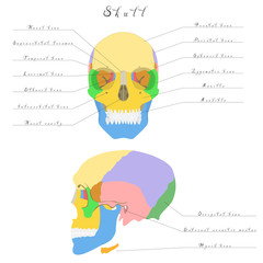 Human anatomy - skull. Bones of the skull are highlighted different colors.