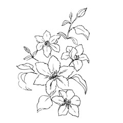 clematis bouquet white black vector