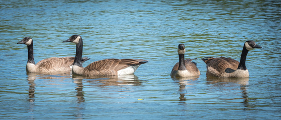 Four Canada Geese swim like a gang in the Ottawa River.   Springtime waterfowl near Billings Bridge.