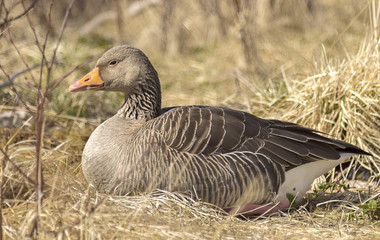 Greylag goose. It is present in Iceland from April to October, it brings eggs 4-7 between May and early July