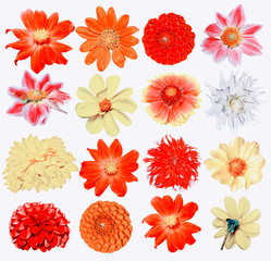 Flowers dahlias isolated on white background.