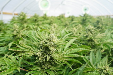 Closeup on the Cola of a Mature Cannabis Plant in a Recreational Marijuana Grow Operation