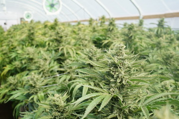 Marijuana Grow Tent. In-Focus Cannabis Indica Kush Plant With Shallow Depth of Field