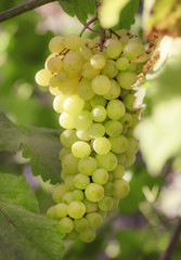 Fototapete - Green wine grapes on the vine in the vineyard, summer natural ba